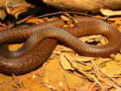 змеи, австралия, змей