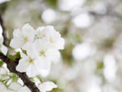 vesna, яблоня, цветение