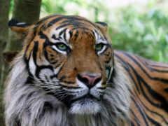 тигра, interiel, главное