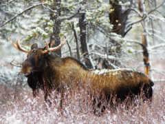 зимнем, лесу, лось