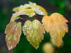 лист, дождь, осень