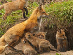 фокс, лисы, живут