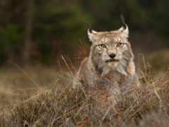 lynx, european, predator