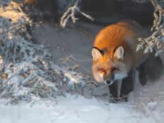 фокс, red, снег