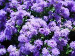 цветы, different, ageratum