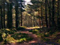 лес, oir, хвойный