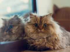 кот, зеркало, daisy