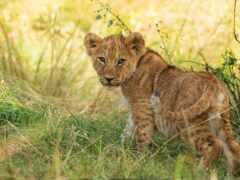 lion, oir, львенок