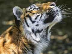 тигр, глаза, profile