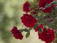 bush, cvety, розы