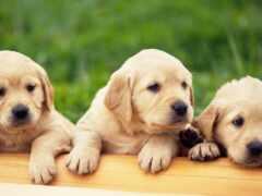 labrador, щенок, золотистый