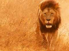 lion, млекопитающее, animal