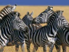 зебры, zebra, zhivotnye Фон № 96245 разрешение 1920x1080