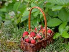 клубника, ягоды, strawberries