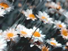 ромашка, parallax, цветы