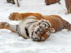 тигр, funart, oir