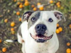 питбуль, white, собака