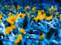 flowers, blue, yellow
