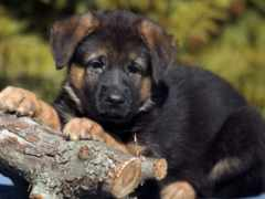 собака, немецкой, овчарки