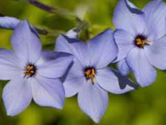 periwinkle, flowers, blue