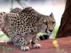 гепард, cover, кот