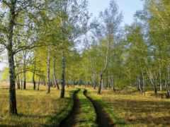березовая, grove, природа