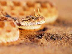 snake, песчаная