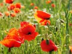 cvety, маки, поле