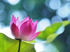 розовый, patel, лист