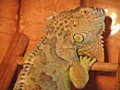 ordinary, iguana, википедия