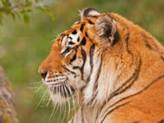 тигр, profile, морда