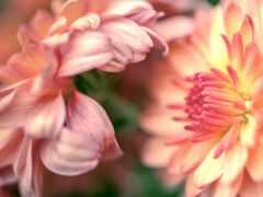 цветы, chrysanthemum, makryi
