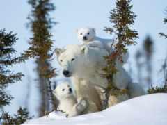 polar, фон, медведь