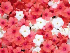 цветы, little, розовый