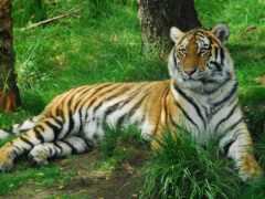 тигр, wood, oir