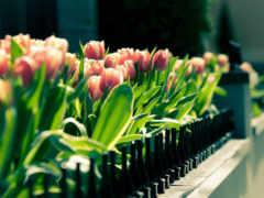 тюльпаны, красивые, живые