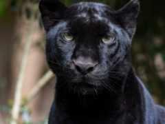 panther, хищник, zhivotnye