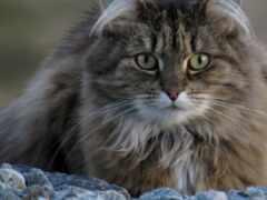кот, пушистый, oir