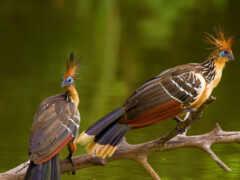 птица, гоацин, тропическая