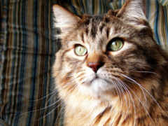 кот, пушистый, норвежская