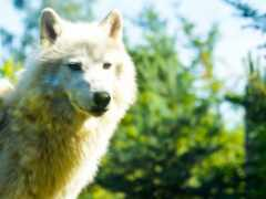волк, морда, хищник