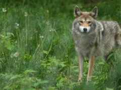 волки, волк, zhivotnye