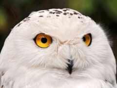 сова, взгляд, птица