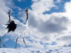 лунно, родное, crane