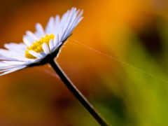 ромашка, full, цветы