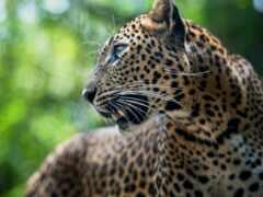 леопард, animal, pardus