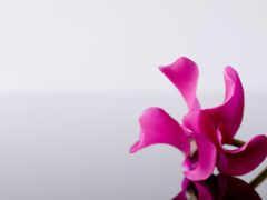 цветы, яркий, розовый