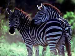 full, zhivotnye, zebra