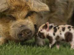 свинья, animal, пятачок