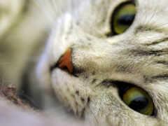 кот, глаз, feline